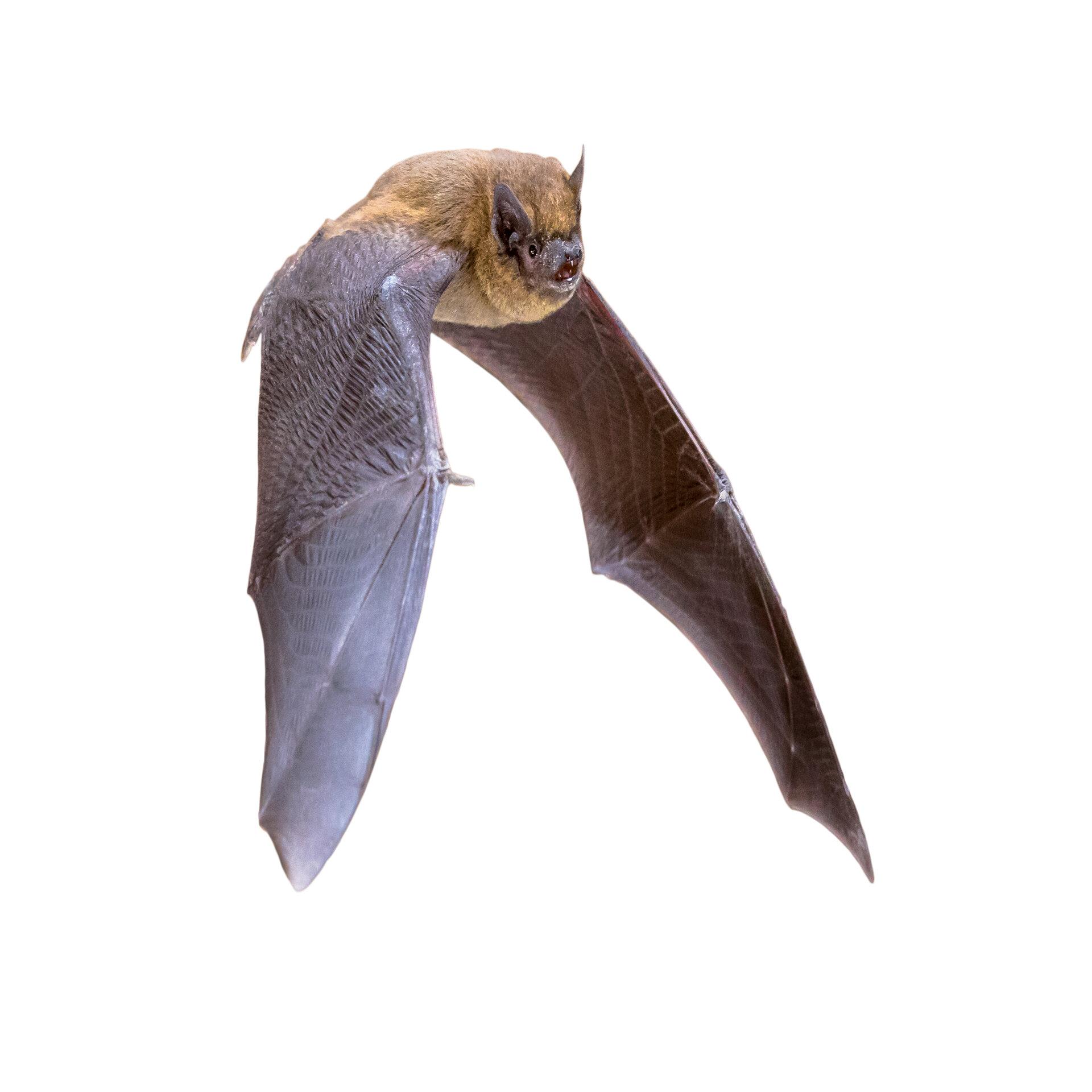 Bat white background