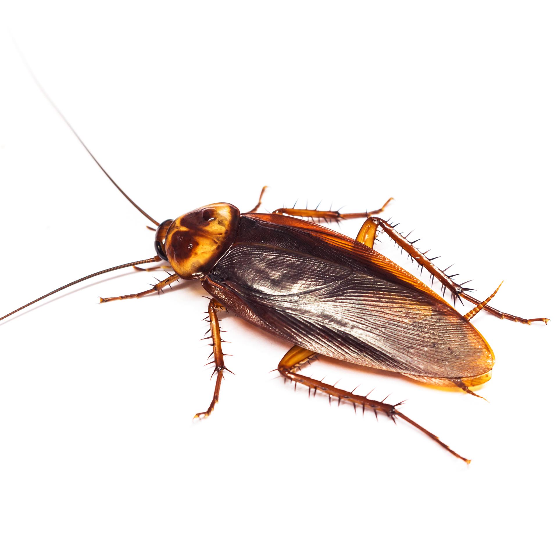 Roach white background